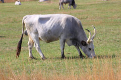 Hungarian gray cattle Royalty Free Stock Images