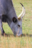 Hungarian gray cattle Royalty Free Stock Photos