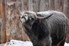Hungarian gray cattle in winter. Hungarian gray cattle mooing in winter at the farm Stock Photography