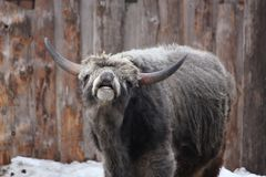 Hungarian gray cattle in winter Stock Photo