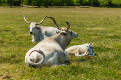 Hungarian gray cattles Royalty Free Stock Photos