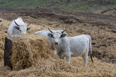 Hungarian gray cows Stock Images
