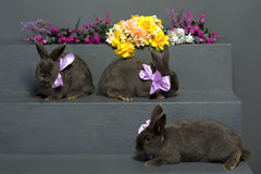 Hungarian gray rabbit with purple ribbons Royalty Free Stock Photography