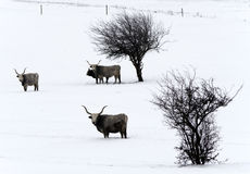 Hungarian gray on the winter meadow. Nikon D5100 Royalty Free Stock Images
