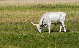 Hungarian grey bull Royalty Free Stock Images