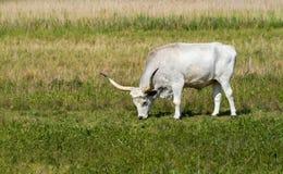 Hungarian grey bull Royalty Free Stock Images