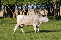 Hungarian grey bull Royalty Free Stock Photo