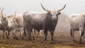 Hungarian grey bull Stock Photography