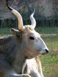 Hungarian Grey Calf royalty free stock photos