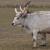 Hungarian grey cattle Royalty Free Stock Photography