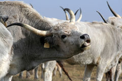 Hungarian grey cattle Royalty Free Stock Image