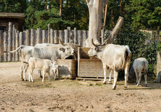 Hungarian grey cattle Royalty Free Stock Photos