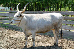 Hungarian grey cattle Stock Images