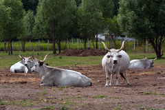 Hungarian Grey Cattle Royalty Free Stock Images