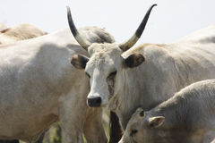 Hungarian Grey cattle cows Royalty Free Stock Image