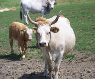 Hungarian grey cattle family Stock Photography