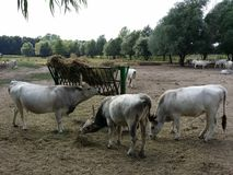 Hungarian grey cattle on a farm Royalty Free Stock Photo