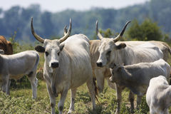 Hungarian Grey cattle Stock Photos