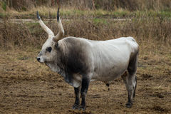 Hungarian Grey cattle on a local meadow Royalty Free Stock Photo