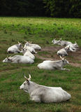 Hungarian grey cattles Stock Image