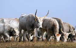 Hungarian grey cattles Royalty Free Stock Photos