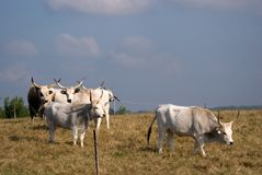 Hungarian grey cattles, Bugac, Hungary Royalty Free Stock Photo