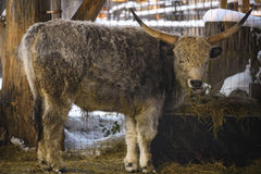 Hungarian grey cow Stock Image