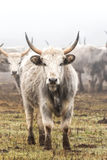 Hungarian grey cow Stock Photos