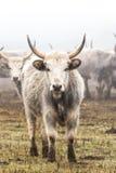 Hungarian grey cow Stock Photos
