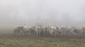 Hungarian grey cows stock footage