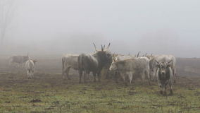 Hungarian grey cows stock video footage