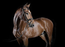 Hungarian horse Studio Stock Photography