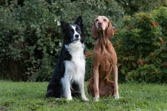 Two obedient dogs sitting royalty free stock images