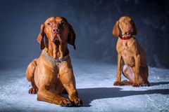 Hungarian hound dog Royalty Free Stock Photos