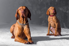 Hungarian hound dog Stock Photos
