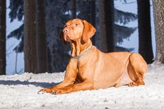 Hungarian hound dog Stock Image