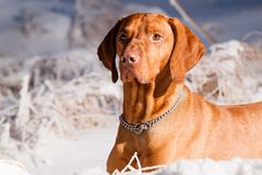 Hungarian hound dog Royalty Free Stock Photo
