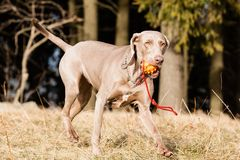 Hungarian hound dog Royalty Free Stock Image
