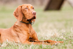 Hungarian hound dog Royalty Free Stock Photography