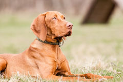 Hungarian hound dog Stock Images