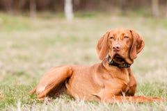 Hungarian hound dog Royalty Free Stock Image