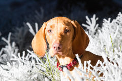 Hungarian hound dog Royalty Free Stock Photos