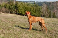 Hungarian hound hunting. Hunting dog Viszla. A spring day. Hungarian hound hunting. Hunting dog Viszla. A spring day Stock Photography