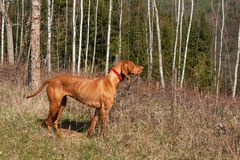 Hungarian hound hunting. Hunting dog Viszla. A spring day. Hungarian hound hunting. Hunting dog Viszla. A spring day Royalty Free Stock Photo