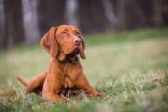 Hungarian hound portrait Stock Photos