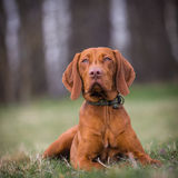 Hungarian hound portrait Royalty Free Stock Photo