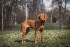Hungarian hound portrait Royalty Free Stock Photo