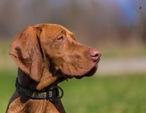 Hungarian hound portrait Royalty Free Stock Photos