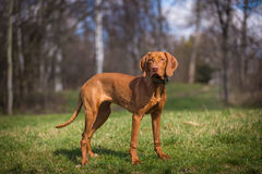 Hungarian hound portrait Stock Photos