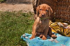 Hungarian hound puppy. Summer day dog family. Viszla Stock Photos